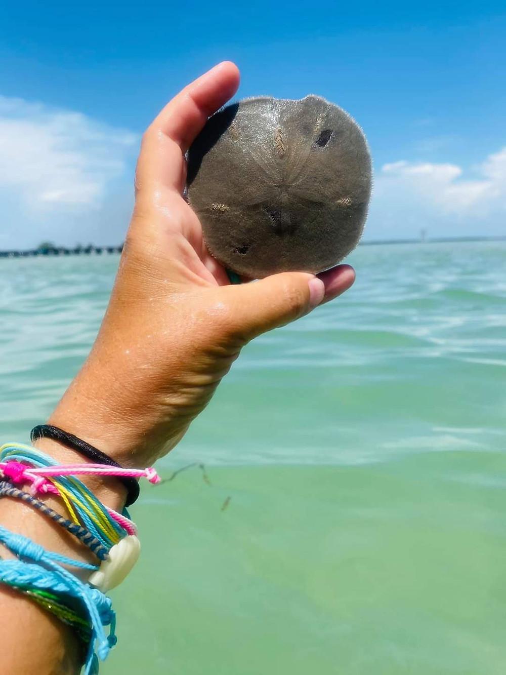 Sand Dollar (Clypeasteroida)