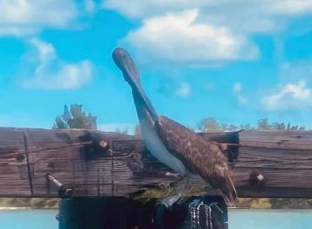 Sea Science Saturday- The Brown Pelican (Pelecanus occidentalis