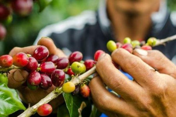 Inacal impulsa la calidad para mejorar exportación del café peruano