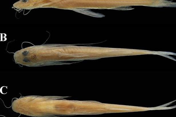 Nueva especie de pez es descubierta en el Parque Nacional Yaguas