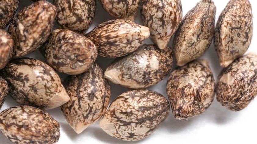 CBD Dreamz Premium Feminized Seeds
