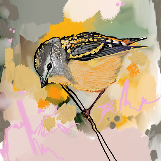 Sal the Spotted Pardalote