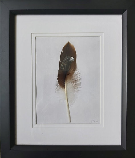 Wedge Tailed Eagle Feather
