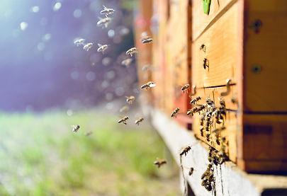 simple cow honey bees.jpg