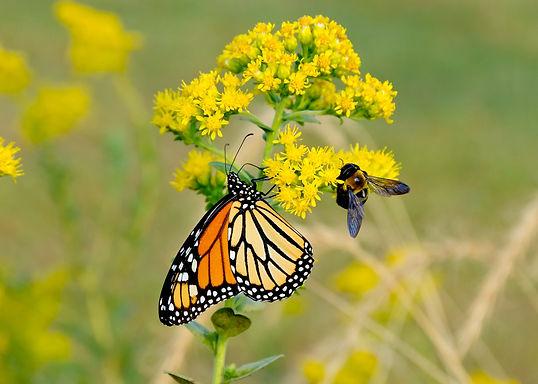 wildflower-butterfly-bee.jpg