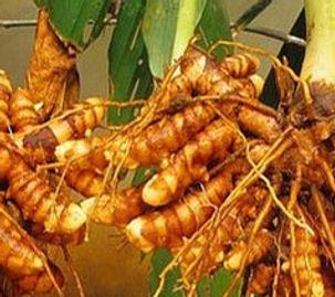 fresh-turmeric-root-500x500.jpg