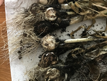 Garlic and the 'Four Thieves Vinegar'