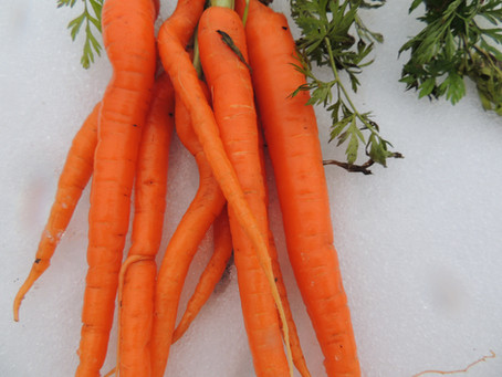 Fresh Garden Carrots in Winter?