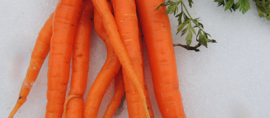 Fresh Garden Carrots in Winter?
