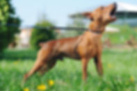 bach-flower-essences-dog-aggression-frus