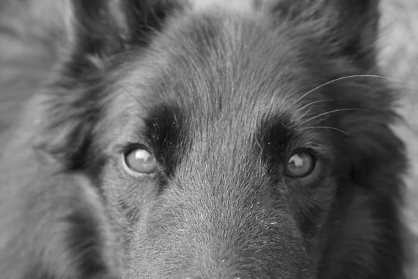 belgian-sheepdog-face-closeup.jpg