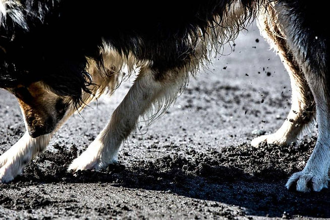 OCD-in-dogs-shadow-light-chasing.jpg