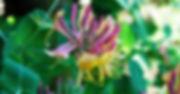 honeysuckle-bach-flower-grief.jpg