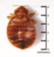 bed-bug-size-millimeters.png