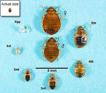 bed-bug-ctual-size.jpg