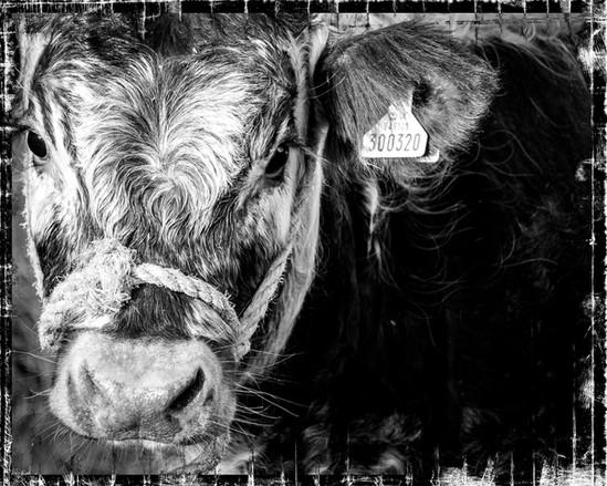 baby longhorn cow
