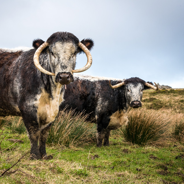 longhorn cow and her calf