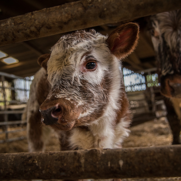 longhorn calf in the shed