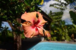 Swimming hibiscus