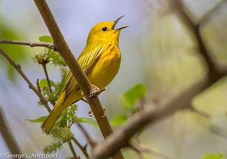 YellowWarbler_FDRPark_GArmistead.jpg