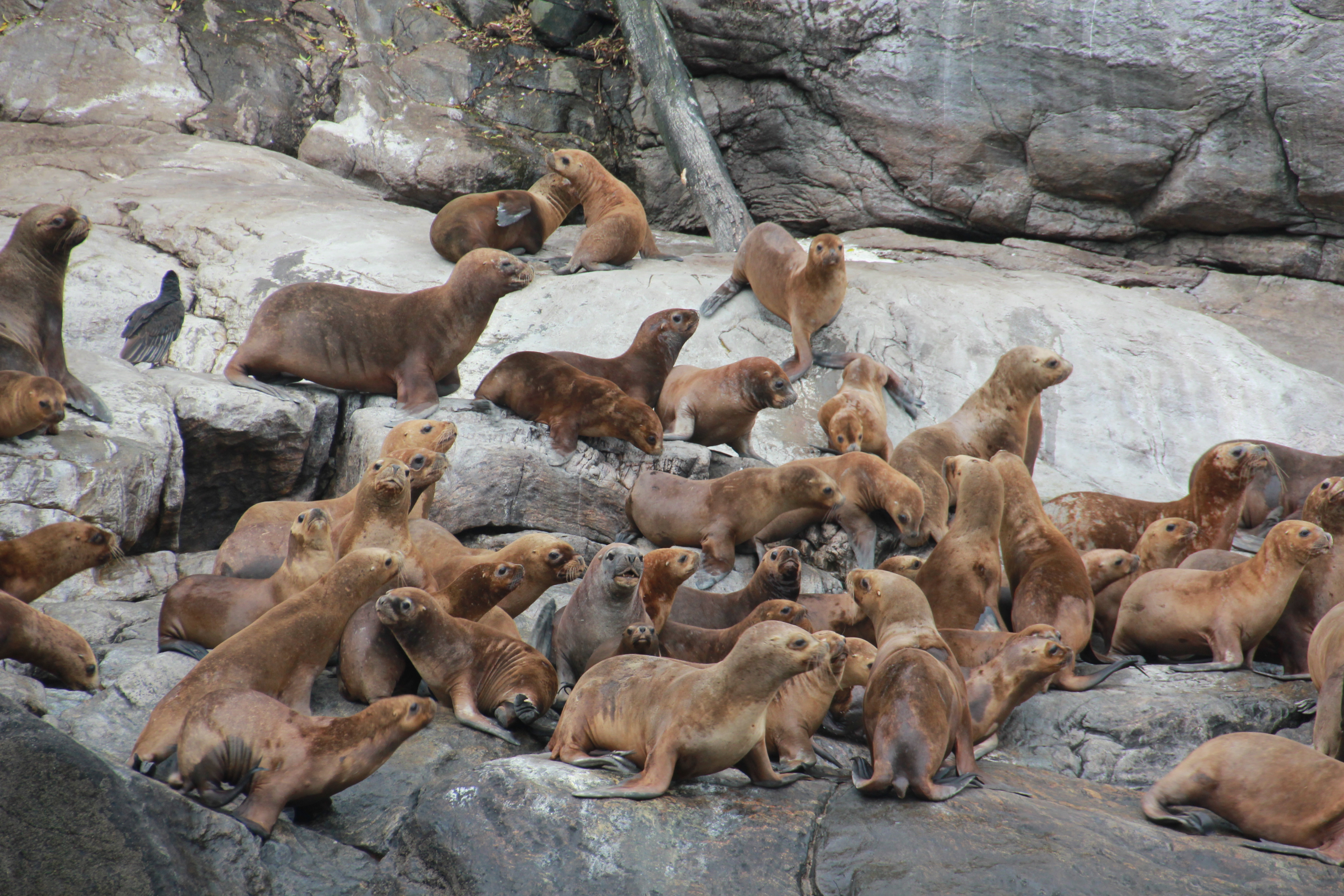 Lobos marinos Parque Pumalin