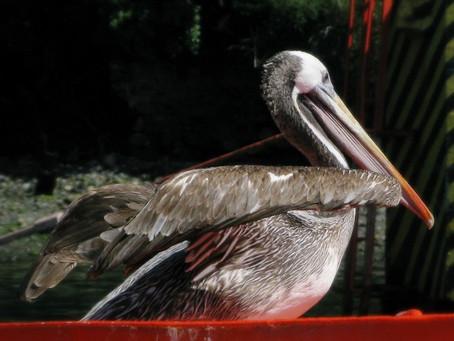 Conozcamos Chile: El Pelicano