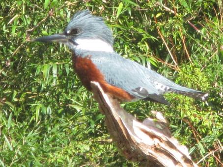 Serie Fauna: Martín Pescador
