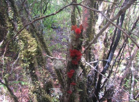 Conozcamos Chile: Heterotextus alpinus