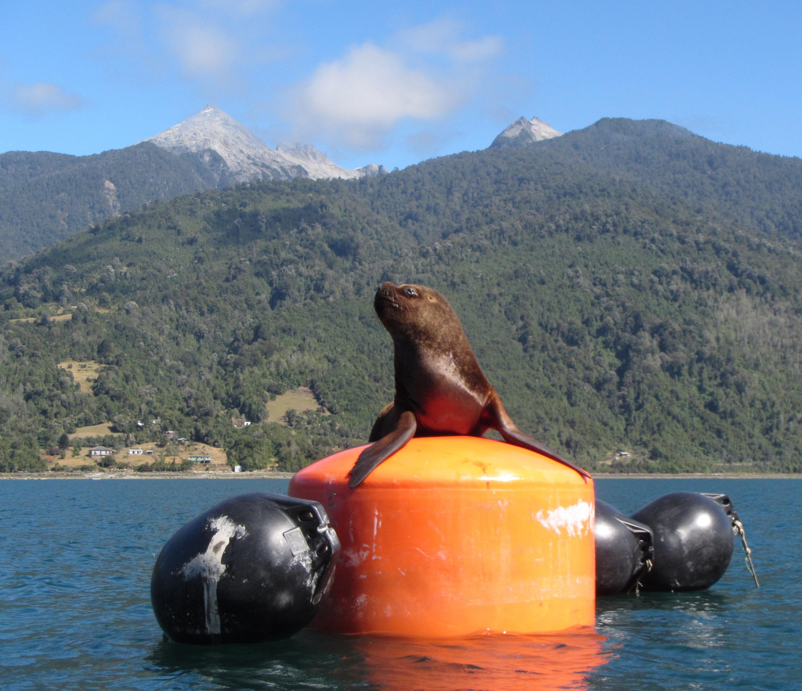 Kayak fiordo Reloncavi lobo marino 1