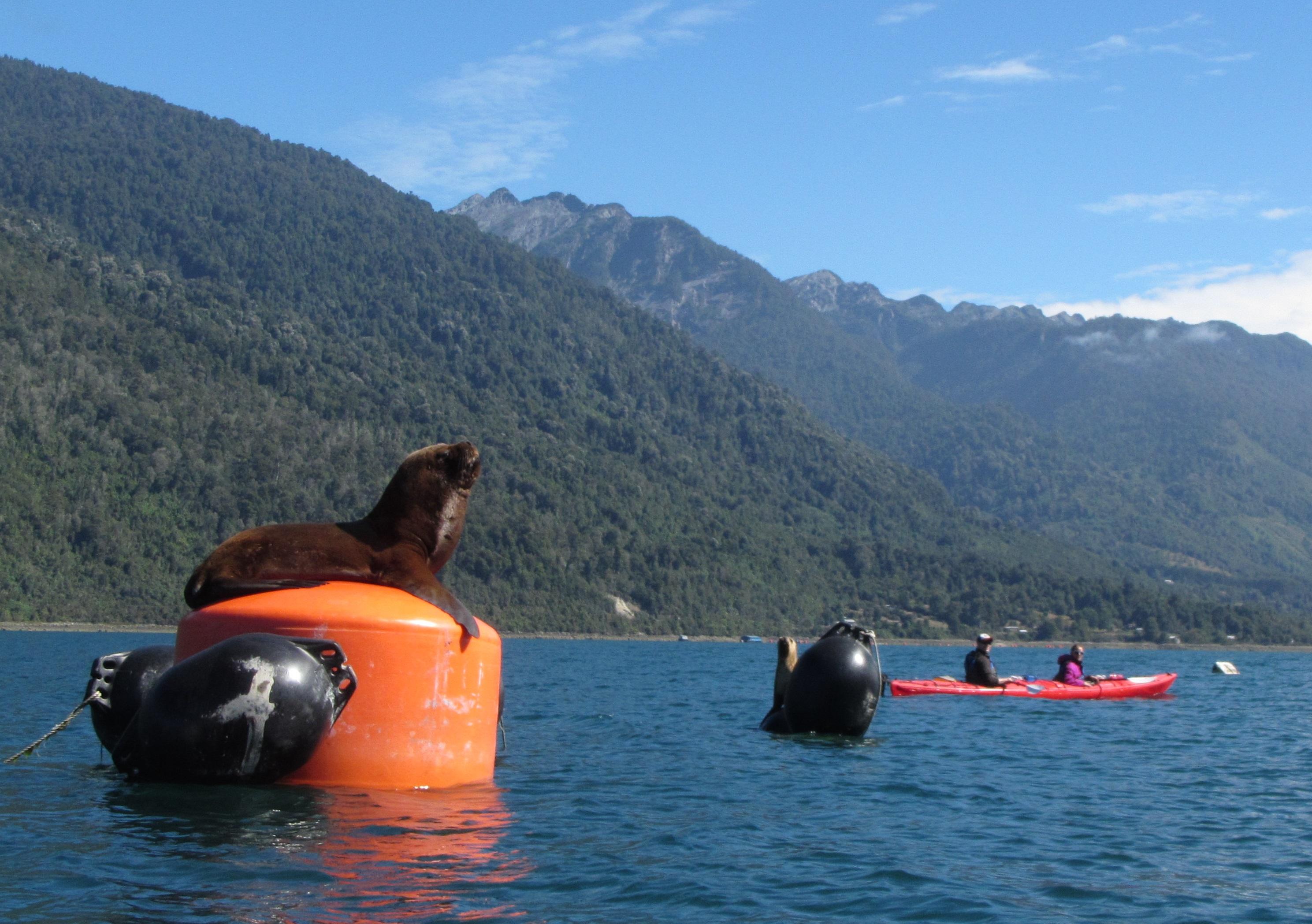 2015 fiordo Reloncavi lobo marino (11) 2