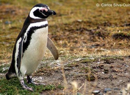 Pingüino de Humboldt y Magallanes, ¿Qué los diferencia?