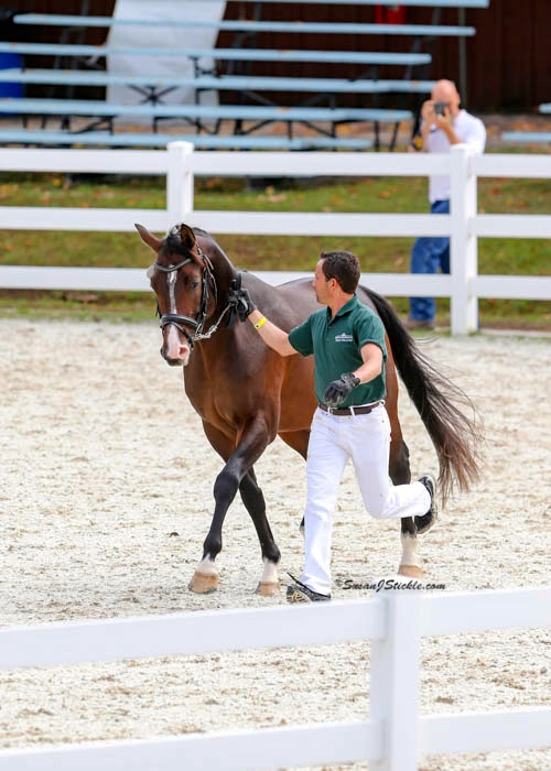 Devon-High Scoring American Stallion