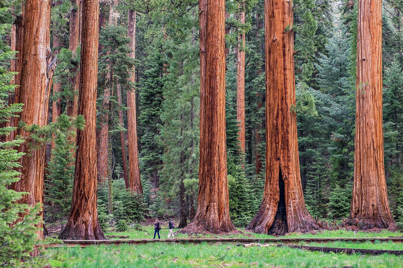 giant-tree-trail-sequoia-national-park.j