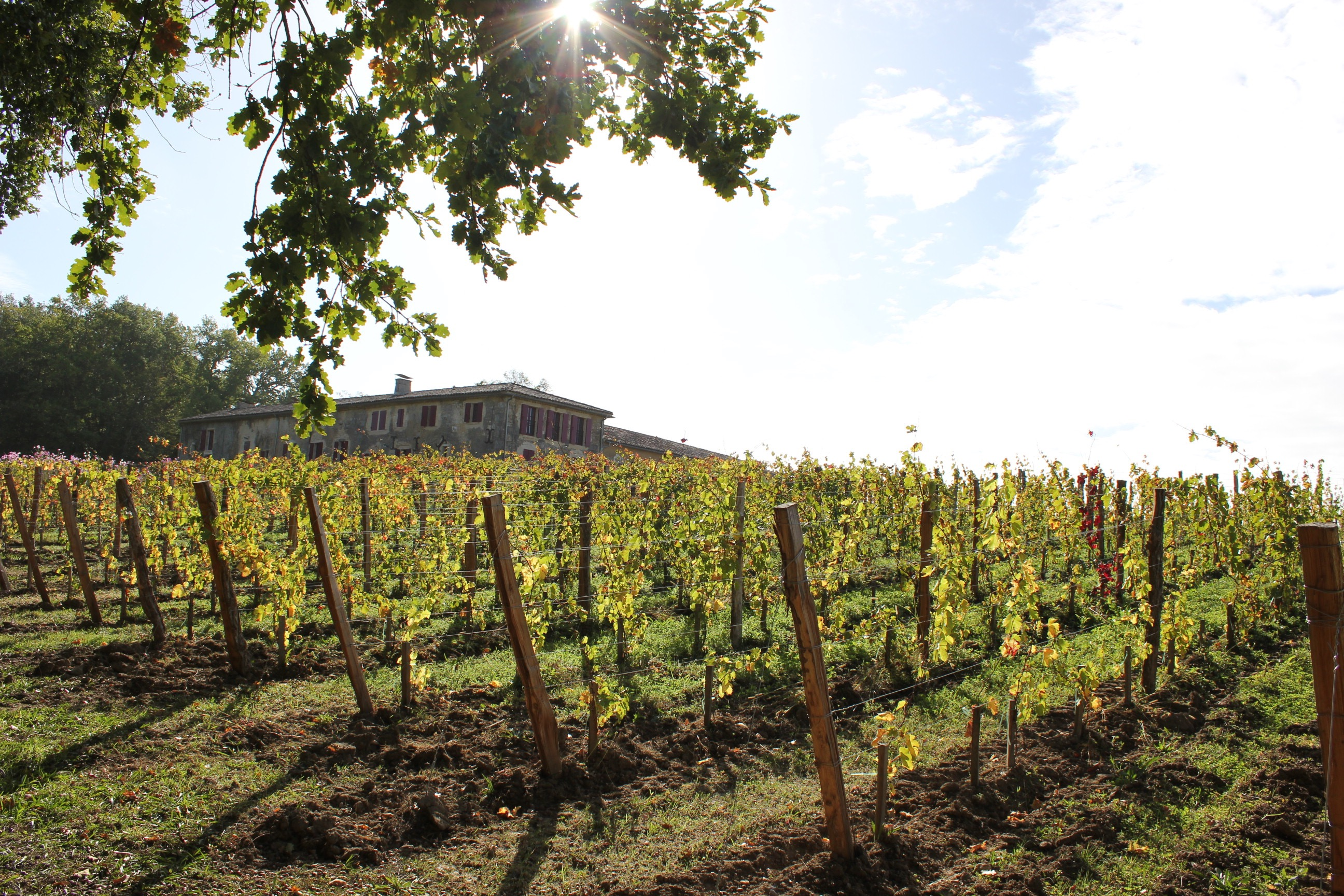 The vineyard on a sunny day