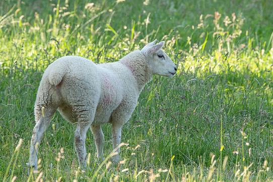 The Lambs.jpg