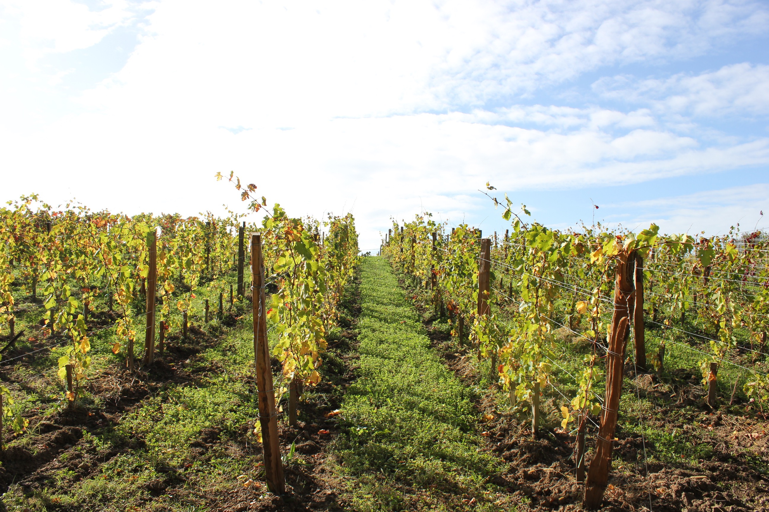 The new vines planted in 2016