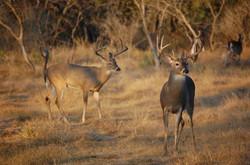 vs deer