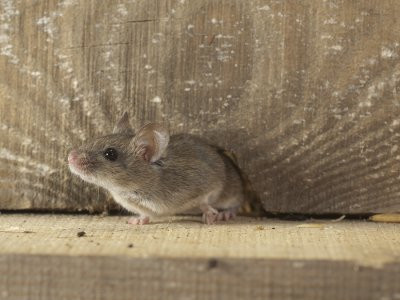 Rodent Proofing, Sanitation, Rodent removal and extermination 2020
