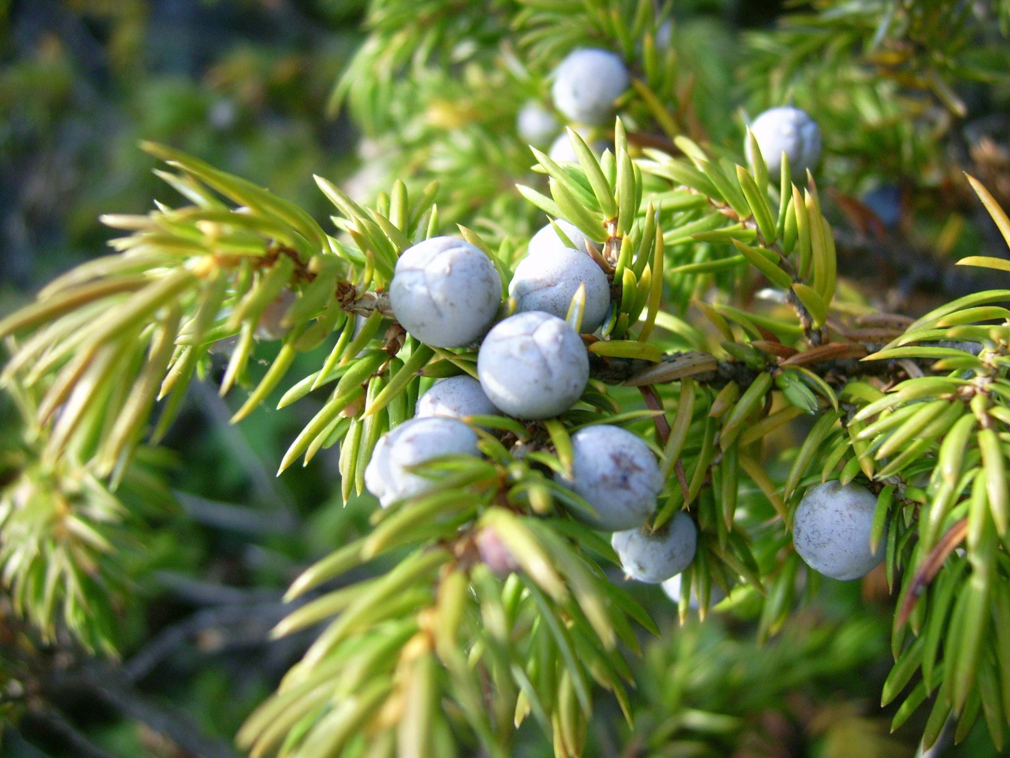 Common_juniper_berries_(Mica_B).JPG
