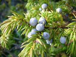 Common_juniper_berries_(Mica_B).JPG