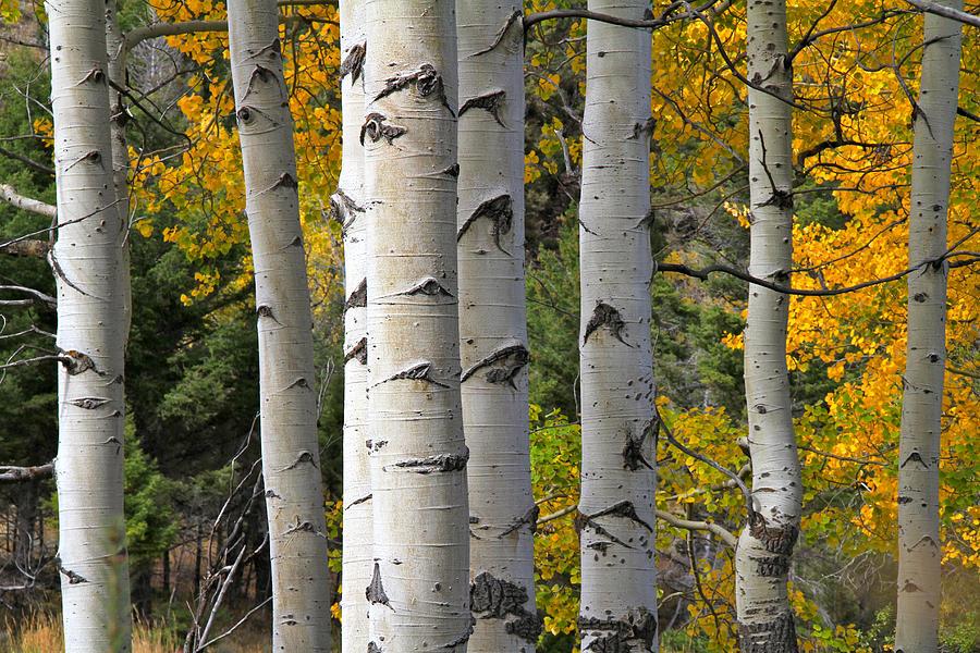 autumn-yellowstone-aspens-ed-riche.jpg