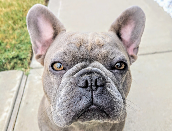 How Do You Know a French Bulldog is the Right Breed for You
