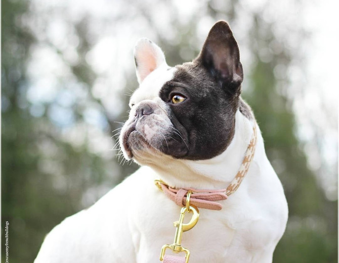 Why Are French Bulldogs So Expensive?