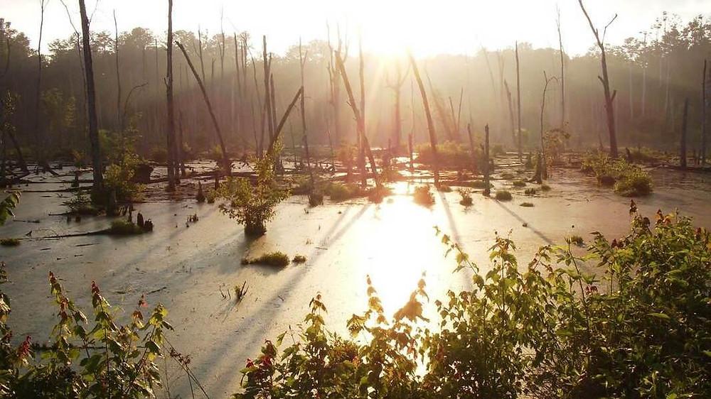 Wetlands area of Ellerbee Creek Watershed