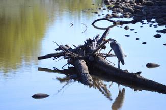 Ivy Parsons, Heron Lake