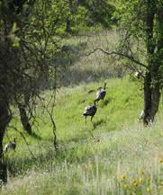 Niko Lerandeau, Wild Turkeys in the Sun
