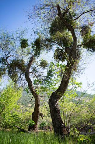 Isa Muñiz Simunovic, Dancing Trees