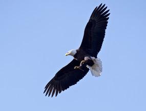 Barbara Carlson, Valiant Bald Eagle