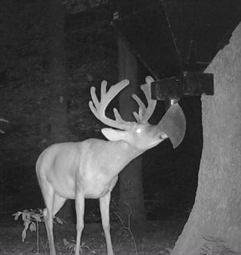 Deer on Douglas Feeders lower unit
