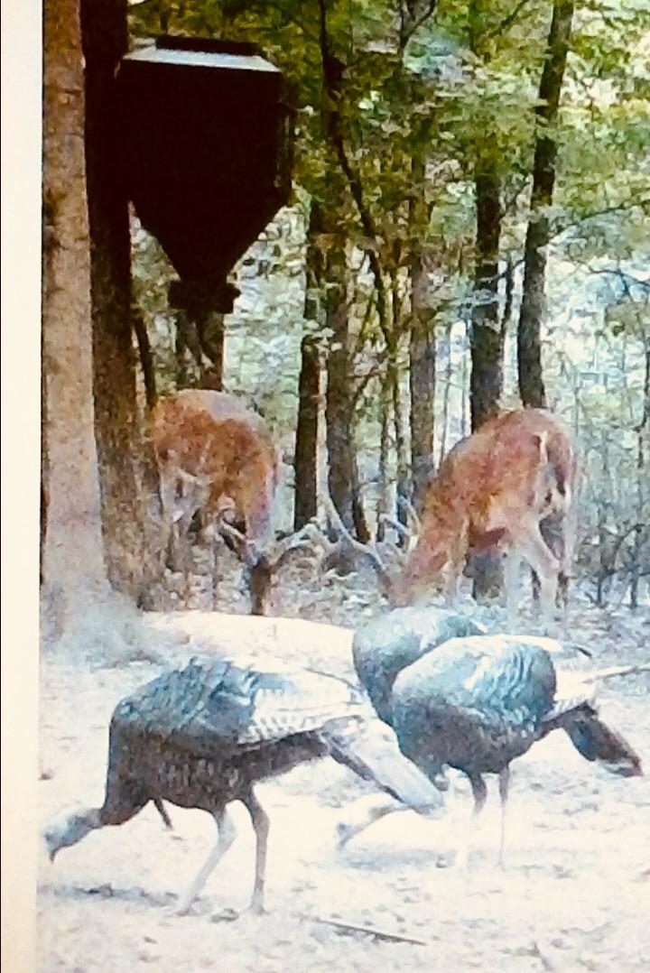 Deer & Turkey on Douglas Feeders